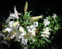 Lillies at Monavale, Christchurch (sandybrinsdon) Tags: gardens sunnyday monavale flickr christchurch