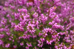 Winter Heather (Dave Roberts3) Tags: wales gwent newport park bellevue heather purple flower potofgold