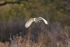 Silent Hunter (shaftina©tion) Tags: barnowl beautiful evening flight flying golden inflight lastlight longshadows onthewing orange purple rays sundown sunset uplifting