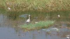 Heron on a Polluted Nile Bank (Rckr88) Tags: heron nile nileriver thenileriver rivers river water pollution polluted garbage trash luxor egypt egyptian africa travel travelling nature outdoors trees greenery green bank herononapollutednilebank riverbank