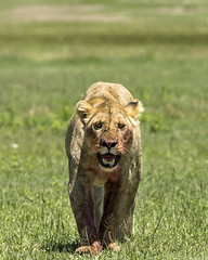 Lioness after dinner (tmeallen) Tags: lioness femalelion pantheraleo bloody frontview walking flies blood wellfed ngorongorocrater unescoworldheritage caldera greengrass tanzania africa