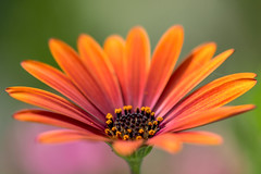 Orange-red Osteospermum #2 (bmpala2) Tags: red orange flower color macro green closeup nikon colorful dof bokeh osteospermum 105mm d7100 exquisiteflowers flickrunitedwinner