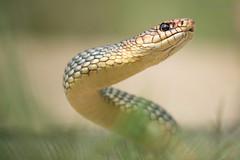 Large Whip Snake (Rob Blanken) Tags: bulgaria slangen nikond810 dolichophiscaspius largewhipsnake sigma180mm128apomacrodghsm pijlslang diversendieren