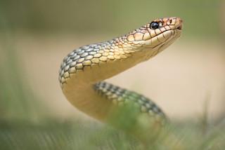 Large Whip Snake