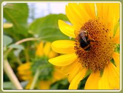 light colors composition flickr bee frame sunflower loweraustria naturesawakening photographystudy rosadik009