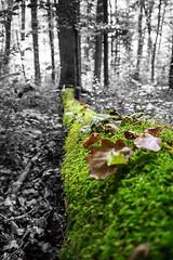 Moss tree (ShimmyGraphy) Tags: wood bw white black tree fall leaves forest germany moss laub herbst alb holz wald baum moos colorkey badenwürttemberg schwäbischealb swabian felled schwarzweis gefällter colourkeying shimmygraphy