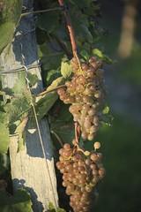 Vendanges 2015 au Vignoble des Hauts de Talmont 8