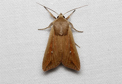 Mythimnia unipuncta (Armyworm Moth) Hodges # 10438 .. (Nick Dean1) Tags: brown macro animal canon insect washington moth tan insects lepidoptera noctuidae noctuinae washingtonstate arthropods animalia arthropoda everett hodges arthropod hexapod insecta washingtonusa hexapods hexapoda 10438 noctuoidea armywormmoth noctuoidae canon7d noctuiidae southeverett hodges10438 mythimniaunipuncta