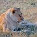 Dozing off after a heavy meal / Masai Mara / Kenya