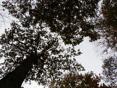 looking up (gerrygoal2008) Tags: tree nature leaves arbre feuillage concordians