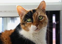 Clarah (Lucy Sky Diamond-Jones) Tags: pet cats green cat fur eyes feline rip whiskers calico meow catoftheday purrfect caturday catoftheyear catoftheweek catdaily catweekly