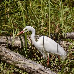 intermediate egret (breeding) (Fat Burns ☮) Tags: bird nature fauna waterbird naturereserve wader australianbird intermediateegret australianfauna ardeaintermedia oxleycreekcommon nikond750 sigma150600mmf563dgoshsmsports