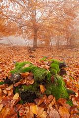 La souche sous la mousse / The stump under moss (Laurent J. ZL) Tags: autumn leaves fog forest automne moss paca provence foret mont beech feuilles brume sud mousse 84 vaucluse ventoux serein hetre laurentjzl laurentjouffre loeildelaurent