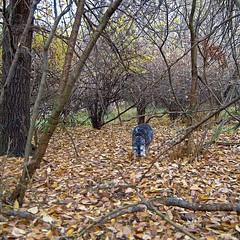 Wilderness Dawg (Pep's Hiking Team) Tags: nature woods nikon hiking schnauzer northdakota 2015 minischnauzer traildog wildernessdogs adventuresniffer