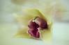 Yellow Queen (Erwin Lorenzen) Tags: orchid flower yellow flora blossom phalaenopsis gelb orchidee blume tamron blüte pastell orchideen textur bej fantasticflower canoneos5dmarkii
