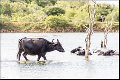 Water Buffalo (John R Chandler) Tags: lake srilanka waterbuffalo yala bubalusbubalis cinnamonwild