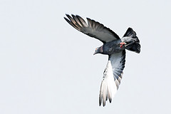 Pigeon by Bottom Viewpoint (Johnnie Shene Photography(Thanks, 1Million+ Views)) Tags: light wild people colour macro bird nature animal horizontal canon lens photography eos rebel spread daylight flying inflight wings focus scenery kiss day view natural image zoom outdoor no pigeon dove wildlife pigeons bottom birding flight sigma tranquility scene apo full theme midair limbs 70300mm length viewpoint effect tranquil doves freshness dg foreground 456 t3i x5 70300  fragility 600d f456