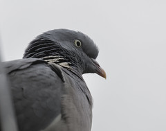 Pigeon close-up (Perry Verstappen) Tags: bird closeup pigeon ngc duif