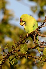 _DSC3579 Halsbandparkiet : Perruche a collier : Psittacula krameri : Halsbandsittich : Rose-ringed Parakeet