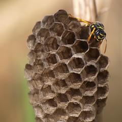 Chambres d'enfant *----+° (Titole) Tags: wasp alvéoles titole nicolefaton alvéolus friendlychallenges diamondsaward 15challengeswinner