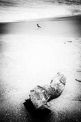 pescando (von lecraM) Tags: wood blackandwhite bw bird beach seaside log sand