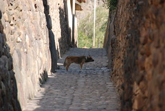 Ollantaytambo - 48 (Adorateur du doigt de Galilée) Tags: dog chien cão cane perú perro ollantaytambo pérou