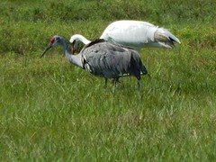 Sandhill crane and whooping crane (MyFWC Research) Tags: bird florida crane research avian threatenedspecies fwc floridasandhillcrane gruscanadensispratensis myfwc myfwccom fallrecruitmentsurvey