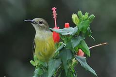 Sunbird (Lim SK) Tags: sunbird nectariniidae