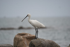 SPOONBILL ON GREEN ISLAND (S H JOHNSON 1980) Tags: bird cornwall wildlife greenisland stmarys tresco islesofscilly