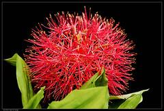 Weihnachtsblume (Nightgoose) Tags: flower flor amaryllidaceae scadoxusmultiflorus estreladenatal líriosangusalmão weihnachtsblume fujifilmxt1 fujinonxf56mmf12r exposure7fujivelvia100f captureone9