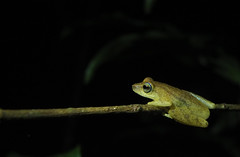 Blue-eyed Bush Frog (siddarth.machado) Tags: blue india eye frogs amphibians karnataka westernghats blueeyed wildlifesanctuary herpetofauna pushpagiri bushfrog raorchestesluteolus coorgyellow