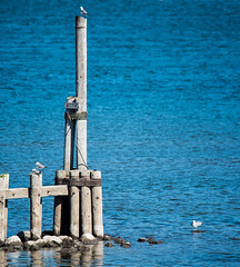 Like us, it seems nature has a pecking order.... - explored (maytag97) Tags: maytag97 seagull bird water river pier piling pole tamron 150 600 nikon d750 inexplore