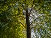 樹叢 (*泛攝影*) Tags: tree plant green bamboo road 戶外 景深 panasonic gx7 color 陽光 inexplore 探索 dof light 台灣 taiwan