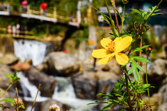 (ola_alexeeva) Tags: сапа каткат вьетнам sapa catcat vietnam noth nature water waterfall lover amazing водопад flower yellow желтый природа