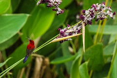 Happy New Year 2017 (Robert-Ang) Tags: bird animal crimsonsunbird sunbird nature wildlife singaporeecogarden singapore