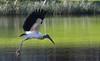 Wood Stork (jason.betzner) Tags: bird flight wings winter florida bradenton gulfcoast outdoors outside nature woodstork canon rebelt3 eos