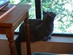 Leo Looking Out the Window (Philosopher Queen) Tags: leo cat kitten chat gate gatito graycat bluecat window shy