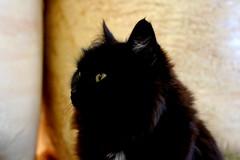 (elena.sim) Tags: cat black yellow eyes iceland mysterious winter