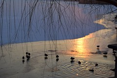 Ducks on lake, Herastrau park [Explored] (fdlscrmn) Tags: bucharest lake water duck tree sunrise reflection herastrau