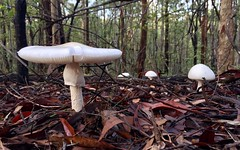 Fungi in Mt Coot-tha forest ID? (NettyA) Tags: australia queensland qld brisbane mtcoottha forest trees appleiphone6 fungi mushroom toadstool white amanita sp