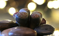 Living Stones ( It's Alive ) Macro Mondays EXPLORED (francepar95) Tags: macromondaysitsalive plant stoneplants pepples hmm bokeh macro alive plante plantecaillou cailloux livingstones