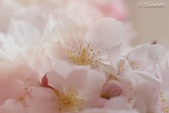 We don't remember days, we remember moments (beth3974) Tags: blossom flowers pink