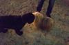washington square park dog run (Charley Lhasa) Tags: ricohgrii grii 183mm 28mm35mmequivalent iso25600 ¹⁄₂₀secatf28 0ev aperturepriority pattern noflash r010929 dng uncropped taken161209171512 uploaded161213012747 2stars flagged adobelightroomcc20158 lightroomcc20158 adobelightroom lightroom charley charleylhasa lhasaapso dog dogs night evening walk washingtonsquareparkdogrun dogrun bigdogrun washingtonsquarepark wsp nycparks citypark urbanpark greenwichvillage manhattan newyorkcity nyc newyork ny tumblr161212 httpstmblrcozpjiby2fpgxg7