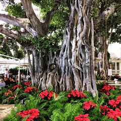 Banyan at the Moana Hotel (Remember To Breathe) Tags: b banyan tree banyantree poinsettias moana