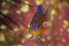 garibaldiJuvDec10-16 (divindk) Tags: anacapa anacapaisland californiaunderwater channelislands channelislandsnationalpark hypsypopsrubicundus sanmiguelisland santabarbara santacruzisland santarosaisland underwater ventura color damselfish diverdoug fish garibaldi juveniledamselfish juvenilefish juvenilegaribaldi marine ocean reef sea spines spots underwaterphotography urchin
