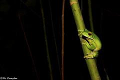 White-lipped Tree Frog - Litoria infrafrenata (Nic Crampton) Tags: frog frogphotography litoria litoriainfrafrenata whitelippedtreefrog treefrog amphibian photography wildlifephotography cairns northqueensland queensland tropicalnorthqueensland australia