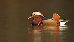 Mandarin Duck (oddie25) Tags: canon 1dx 600mmf4ii mandarin mandarinduck duck drake water wildlife wildfowl nature forestofdean reflections