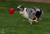 Big Fun (Jasper's Human) Tags: australianshepherd aussie ball chase run