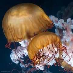 fancy jellyfish (ewaldmario) Tags: aquarium quallen scbr schönbrunn zoovienna at austria jellyfish kompassqualle nesseltier underwater nikon micro closeup macro ewaldmario ewaldmariocom compassjellyfish animal vienna chrysaorahysoscella yellow white blue brilliant lightening strongcolours
