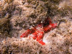 Búzios-RJ (Johnny Photofucker) Tags: búzios rj estreladomar underwater aquático mar mare sea lightroom mergulho dive starfish stelladimare aw100 nikon